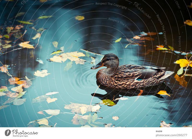 Herbstente Umwelt Natur Urelemente Wasser Wetter Schönes Wetter Teich See Tier Wildtier Vogel Entenvögel 1 Schwimmen & Baden Im Wasser treiben herbstlich
