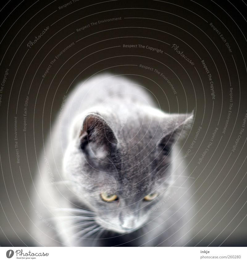 Geräusche Haustier Katze Fell Hauskatze 1 Tier Tierjunges beobachten hocken hören Blick warten nah Neugier niedlich oben grau Gefühle Stimmung Tugend