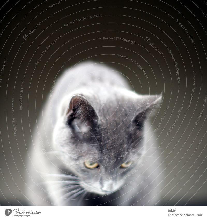 Geräusche Katze Tier ruhig Gefühle oben grau Stimmung Tierjunges warten Häusliches Leben niedlich beobachten Neugier Fell nah Konzentration