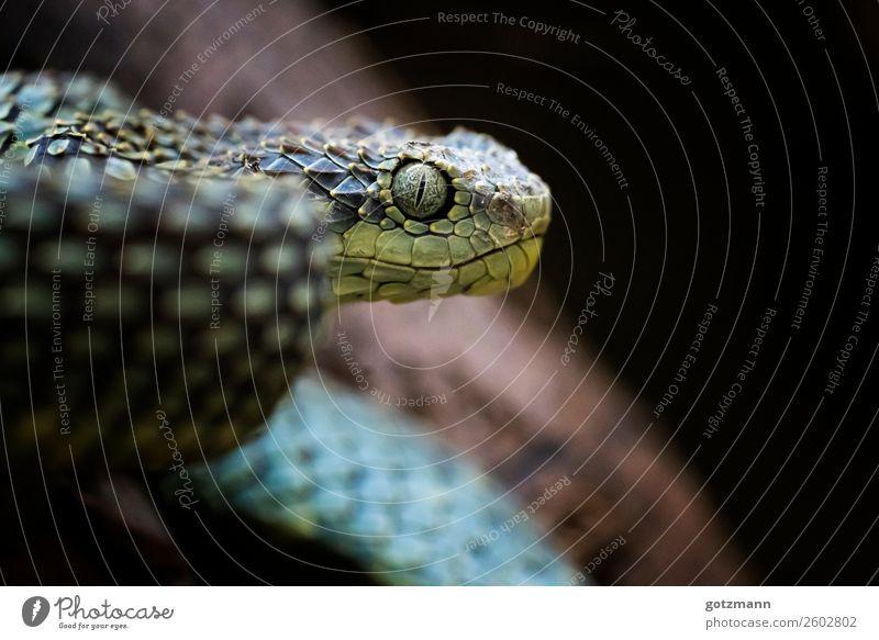 Blue Viper Natur Tier Haustier Wildtier Schlange Zoo 1 atmen rennen beobachten Jagd Aggression ästhetisch sportlich authentisch außergewöhnlich bedrohlich
