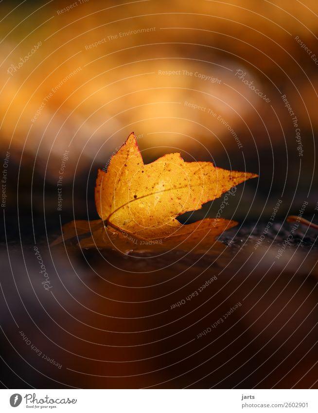 herbstlicht I Pflanze Sonnenlicht Herbst Schönes Wetter Blatt einfach natürlich orange Gelassenheit geduldig ruhig Hoffnung Natur Park Farbfoto Außenaufnahme