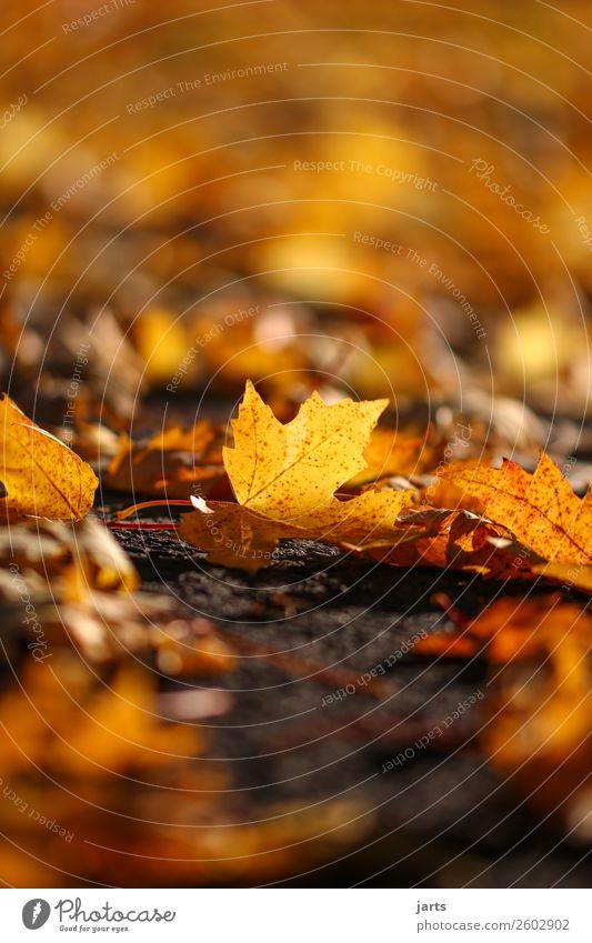 herbstlicht II Pflanze Herbst Schönes Wetter Blatt Park frisch hell natürlich orange Vorsicht Gelassenheit geduldig ruhig Natur Farbfoto mehrfarbig