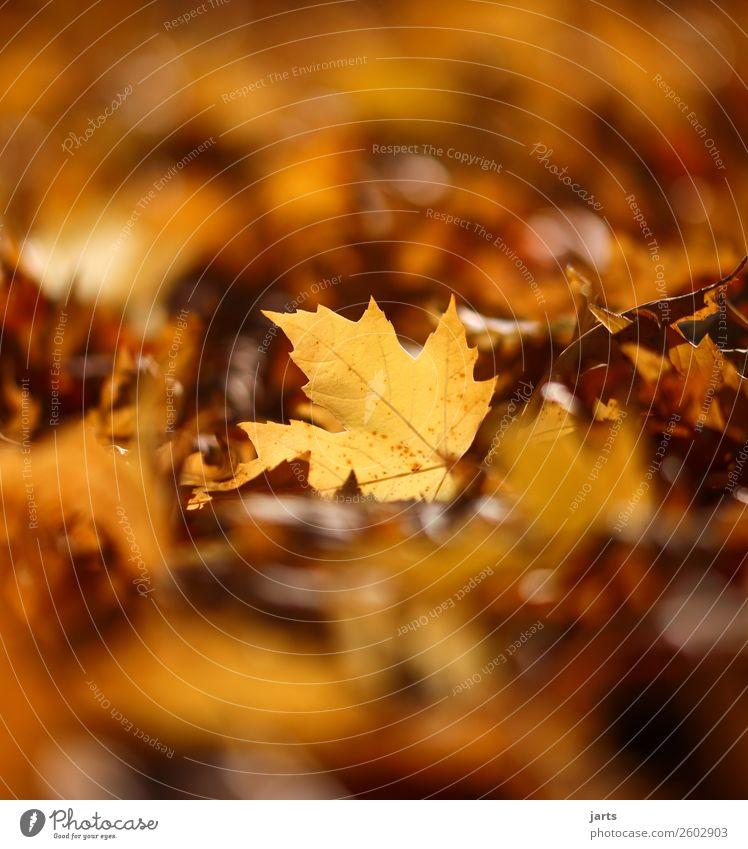 herbstlicht IV Pflanze Herbst Schönes Wetter Blatt Park einfach hell natürlich Gelassenheit geduldig ruhig Hoffnung Natur Farbfoto Außenaufnahme Nahaufnahme