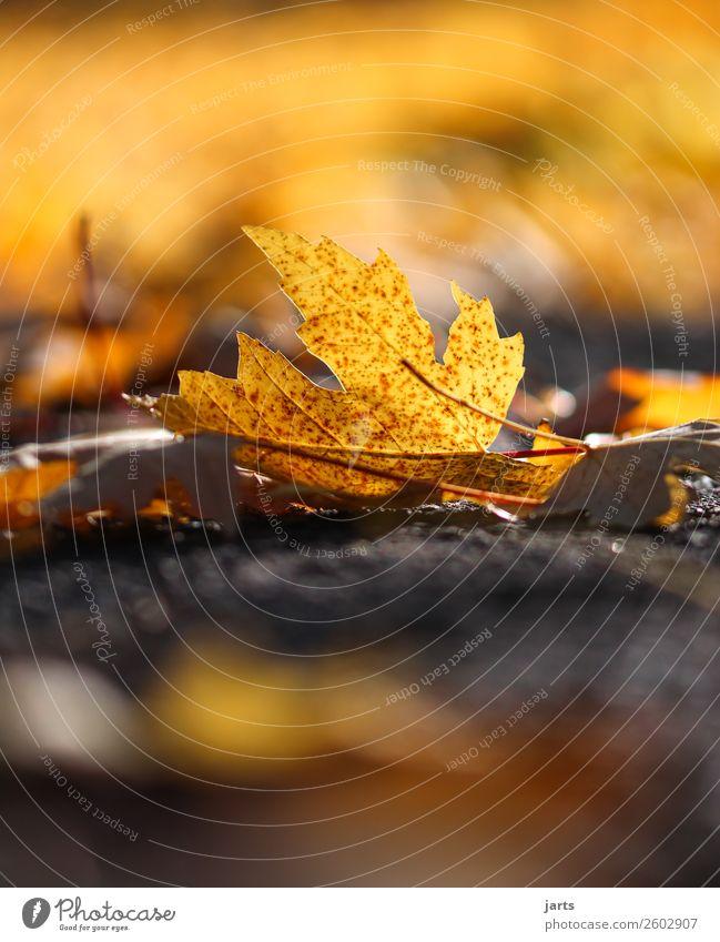 herbstlicht III Pflanze Herbst Schönes Wetter Blatt Park liegen einfach schön natürlich gelb gold orange Vorsicht Gelassenheit geduldig ruhig Natur Farbfoto