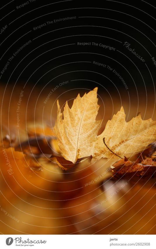 herbstlicht V Pflanze Herbst Schönes Wetter Blatt Park liegen einfach hell schön natürlich gelb gold Gelassenheit geduldig ruhig Hoffnung Natur Farbfoto