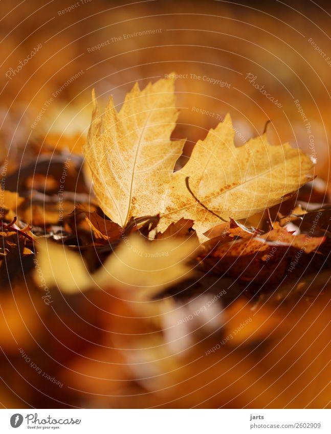 herbstlicht VI Umwelt Pflanze Herbst Schönes Wetter Blatt liegen einfach schön natürlich Wärme gelb gold orange Gelassenheit geduldig ruhig Hoffnung Natur