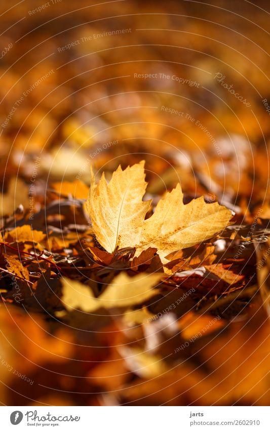 herbstlicht VII Natur Herbst Schönes Wetter Pflanze Blatt Park liegen hell schön natürlich Gelassenheit geduldig ruhig Farbfoto mehrfarbig Außenaufnahme