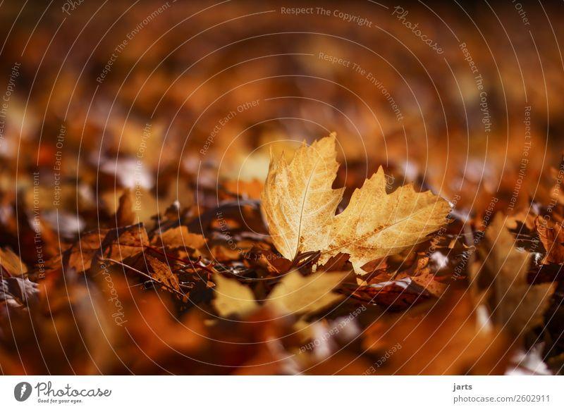 herbstlicht IX Pflanze Herbst Schönes Wetter Blatt Park liegen einfach natürlich gelb gold geduldig ruhig Natur Farbfoto mehrfarbig Außenaufnahme Nahaufnahme
