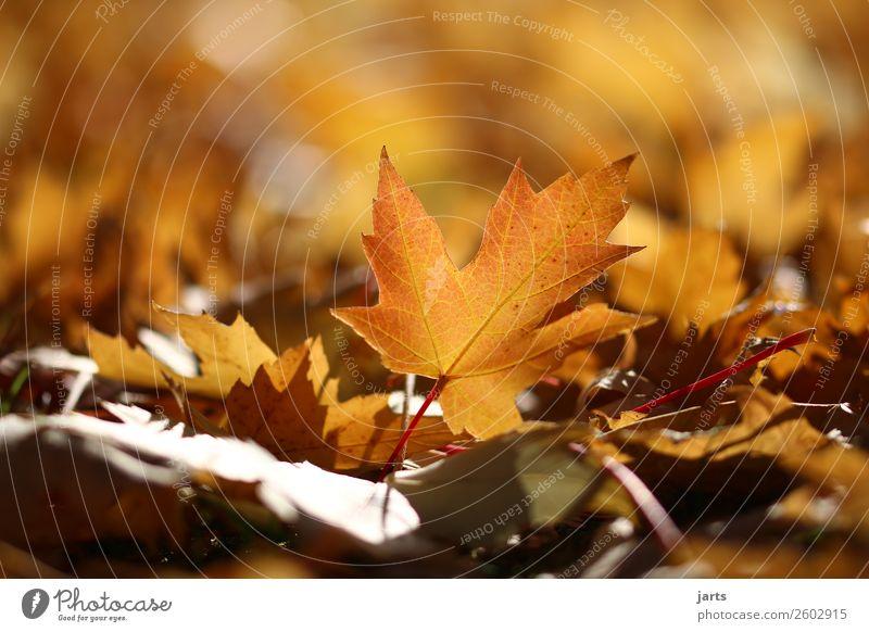 herbstlicht VIII Natur Pflanze Herbst Schönes Wetter Blatt Park liegen glänzend hell schön Gelassenheit geduldig ruhig Hoffnung Farbfoto mehrfarbig