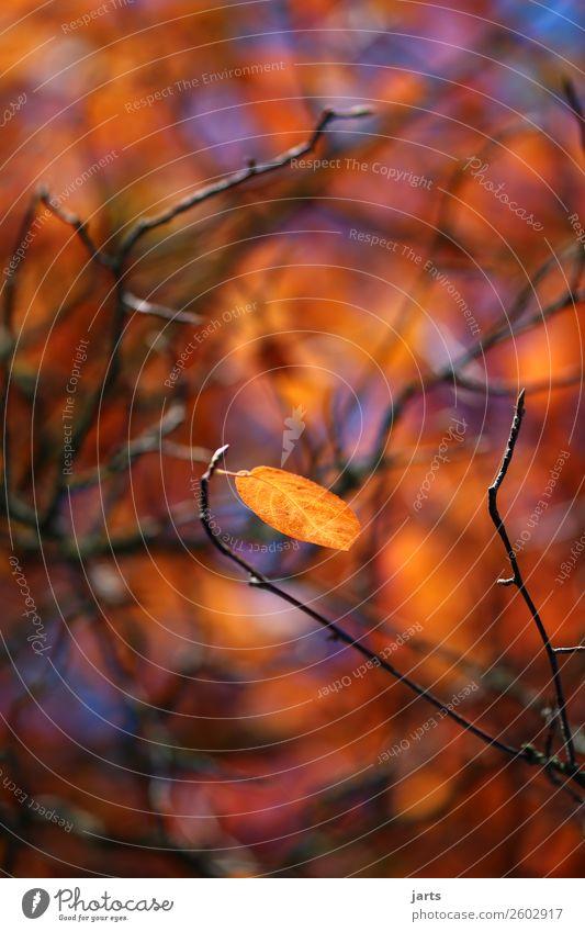 herbstgold III Pflanze Herbst Schönes Wetter Blatt Wald hängen leuchten einfach glänzend natürlich gelb orange Gelassenheit ruhig Natur Farbfoto mehrfarbig