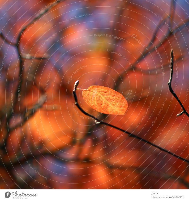 herbstgold X Natur Pflanze Himmel Herbst Schönes Wetter Baum Blatt einfach natürlich schön gelb orange Gelassenheit ruhig Hoffnung Farbfoto Außenaufnahme