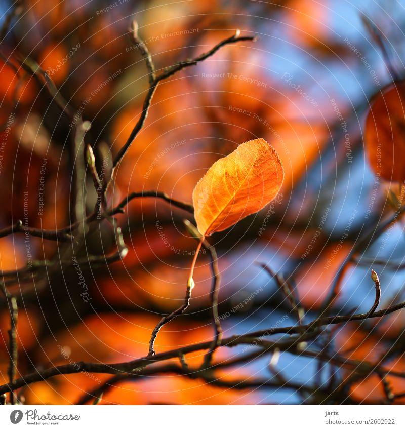 herbstgold IX Natur Pflanze Himmel Herbst Schönes Wetter Baum Blatt natürlich gelb orange Farbfoto Außenaufnahme Nahaufnahme Menschenleer Textfreiraum links