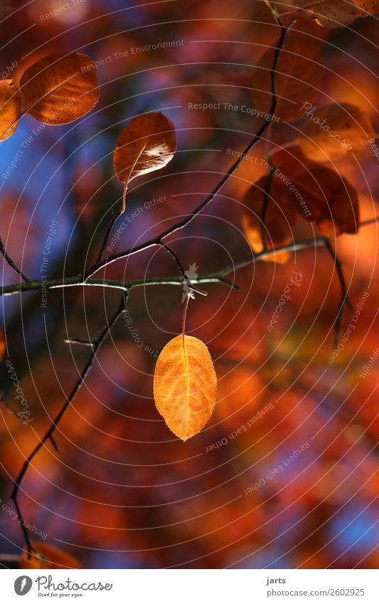 herbstgold VIII Natur Pflanze Herbst Schönes Wetter Baum Blatt einfach natürlich gelb rot Gelassenheit ruhig Hoffnung Farbfoto mehrfarbig Außenaufnahme