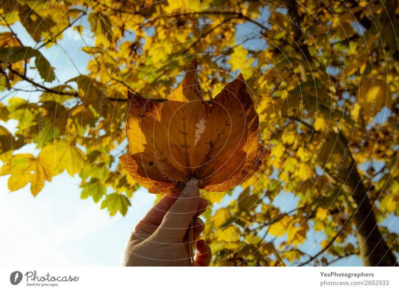 Frau hält Herbstlaub in der Hand Freiheit Natur Schönes Wetter Baum Blatt Fröhlichkeit gelb gold Farbe November Oktober Blauer Himmel Ast kalte Jahreszeit