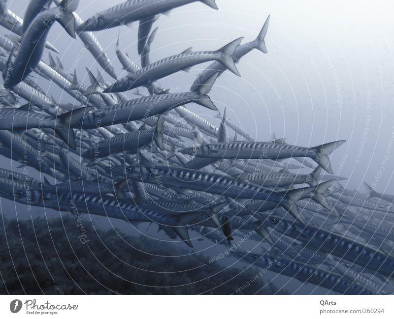 Kleine Fische auf der Flucht... (oder eher große Barrakudas) Natur Wasser Ferien & Urlaub & Reisen Meer Tier Umwelt Freiheit Küste Wellen Schwimmen & Baden