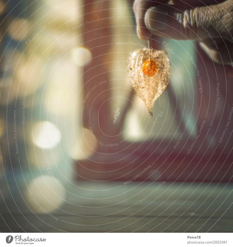 Im Lot Natur Pflanze Herbst Physalis Blasenkirsche Judenkirsche Gefühle Stimmung Begeisterung Kraft Warmherzigkeit authentisch Design einzigartig Perspektive