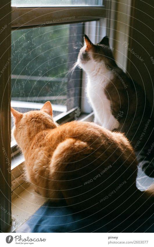 beobachten II Häusliches Leben Wohnung Tier Haustier Katze 2 Tierpaar Interesse Brüder orange grau Jagd gefangen heimisch Farbfoto mehrfarbig Innenaufnahme