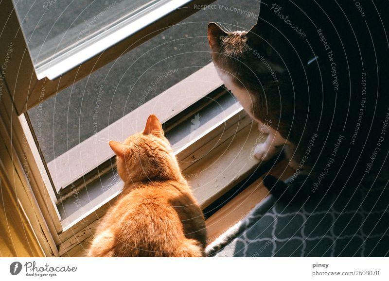 """zuschauend Tier Haustier Katze 2 Tierpaar Interesse """" Blick,"""" anstarrend Brüder Fenster außerhalb gefangen Muster orange grau außergewöhnlich Farbfoto"""