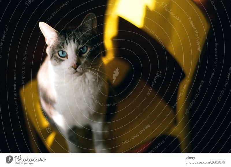 Oscar Tier Haustier Katze 1 ästhetisch dick Gesundheit kuschlig natürlich niedlich schön Wärme weich braun gelb grau schwarz weiß katzenhaft Auge Nase Farbfoto