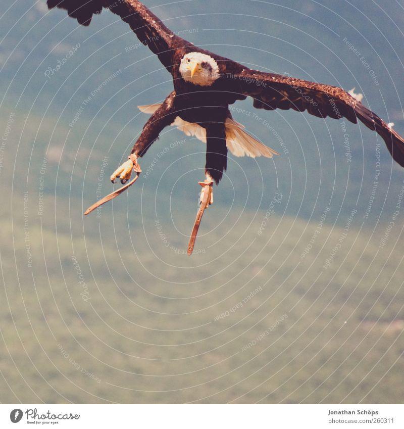 Quack der Bruchpilot Ausflug Abenteuer Ferne Freiheit Umwelt Natur Landschaft Schönes Wetter Vogel Greifvogel Adler 1 Tier Kraft Wappentier Angriff