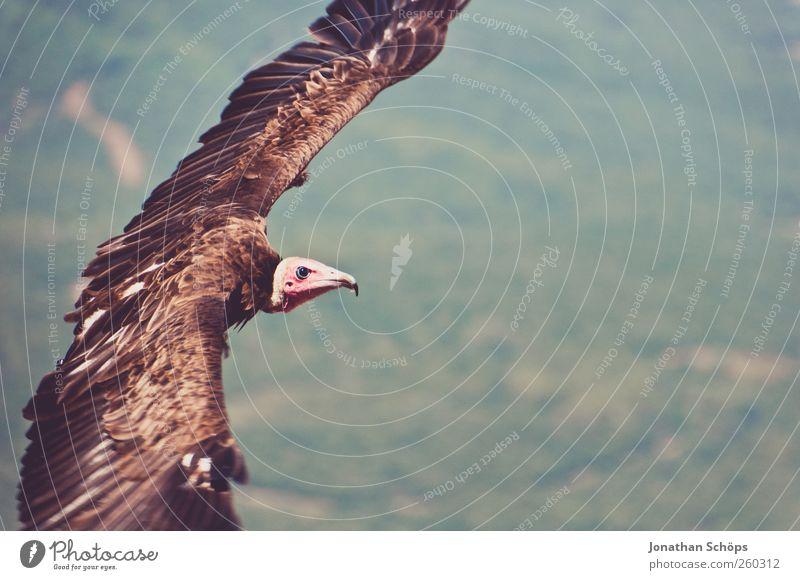 Pleitegeier Umwelt Natur Landschaft Schönes Wetter Tier Vogel 1 Kraft Freiheit Außenaufnahme Desaster Insolvenz Geier Greifvogel fliegen Flügel Jagd Luft