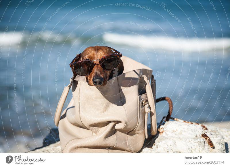 Dackelhund mit Sonnenbrille Lifestyle kaufen elegant schön Erholung Freizeit & Hobby Ferien & Urlaub & Reisen Sommer Sonnenbad Strand Baby Tier Wasser Küste