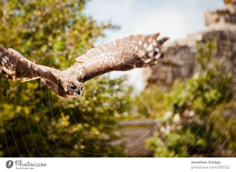 Uhu — klebt gut und fliegen kann er auch Natur Pflanze Tier Ferne Umwelt Landschaft Berge u. Gebirge Freiheit Vogel Kraft Felsen Ausflug wild Abenteuer Macht