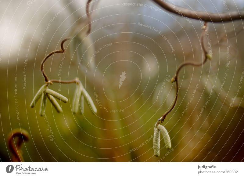 Draußen Umwelt Natur Pflanze Baum Garten Park Wachstum Haselnuss Blüte verdreht zart Zweig Farbfoto Gedeckte Farben Außenaufnahme Unschärfe