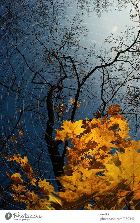Umsonst und draußen Umwelt Natur Landschaft Pflanze Wolkenloser Himmel Herbst Klima Wetter Schönes Wetter Baum Blatt Wildpflanze Ast leuchten verblüht