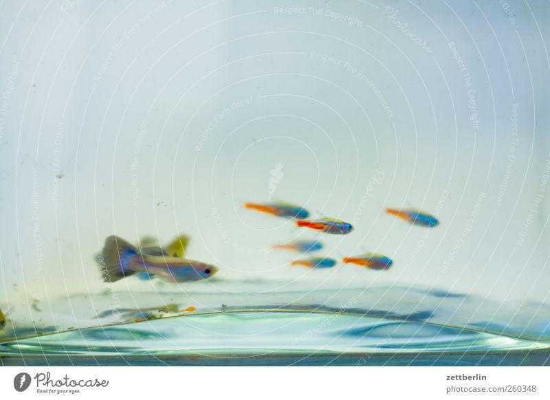 Aquarium Wasser Schwarm unten Aquaristik becken fisch glas guppie guppy neonfisch wallroth Wasserbecken Farbfoto Gedeckte Farben Innenaufnahme Menschenleer