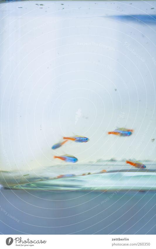 Neon Wasser Aquarium Schwarm unten Aquaristik becken fisch glas guppie guppy neonfisch wallroth Wasserbecken Farbfoto Gedeckte Farben Nahaufnahme Menschenleer