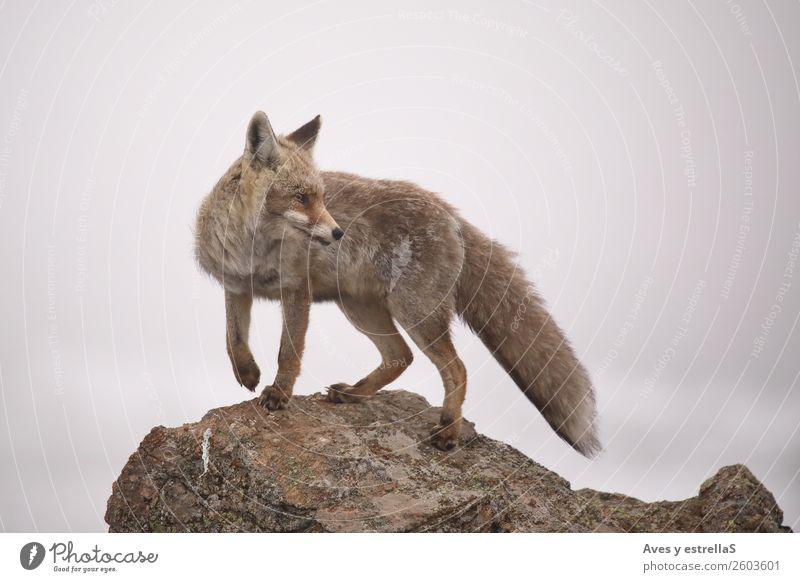 Natur rot Tier grau Felsen Nebel Wildtier Klima Fuchs