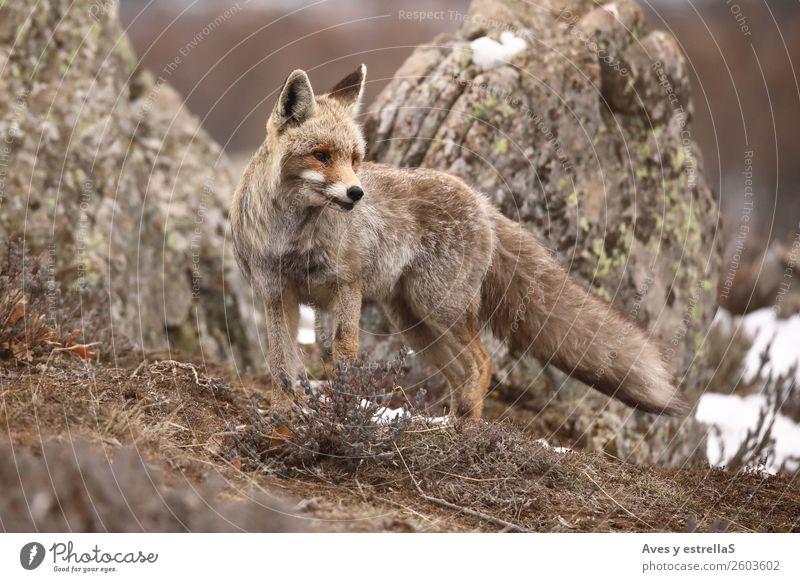 grün weiß rot Tier grau Wildtier Fuchs