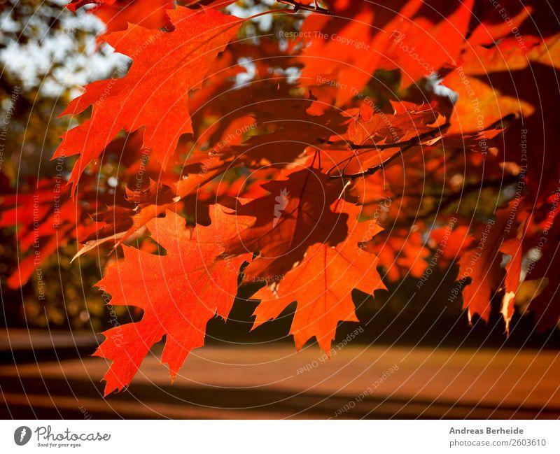 Herbstliches Ahornblatt Erholung ruhig Natur Sonnenaufgang Sonnenuntergang Sonnenlicht Schönes Wetter Baum Blatt Park rot Frieden beautiful natural bright