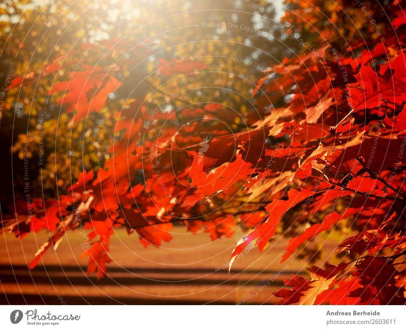 Herbstlich Natur Sonnenaufgang Sonnenuntergang Sonnenlicht Baum Blatt Park rot Erholung Frieden ruhig autumn autumnal Hintergrundbild beautiful beauty blurred
