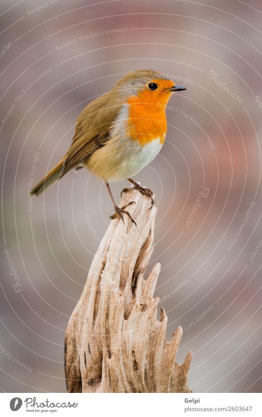 kleiner Vogel mit orangefarbenen Federn schön Leben Mann Erwachsene Umwelt Natur Tier natürlich wild braun grün weiß Tierwelt Rotkehlchen allgemein gehockt