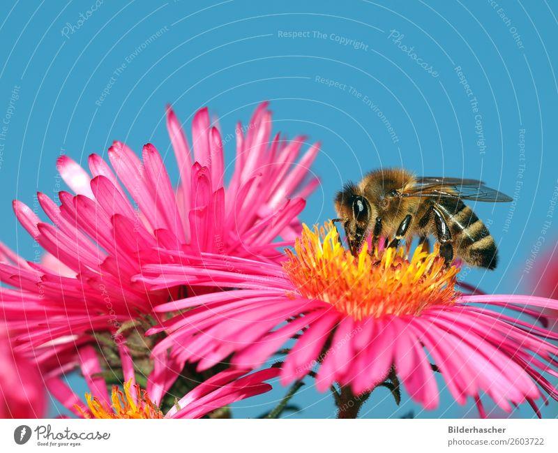 Nektarnascher auf rosa Aster Biene Honigbiene Astern strahlend Insekt Fluginsekt Blüte Blume Blütenblatt Pollen winteraster krabbeln Umwelt herbstlich ankern