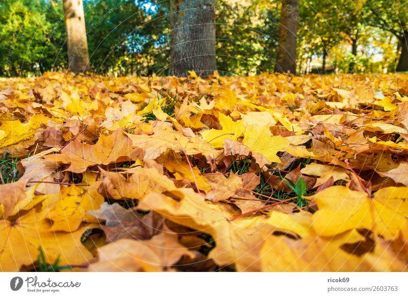 Herbstlich gefärbtes Laub auf dem Boden Erholung Ferien & Urlaub & Reisen Tourismus Natur Landschaft Wetter Baum Blatt Park gelb grün rot Farbe Idylle Klima