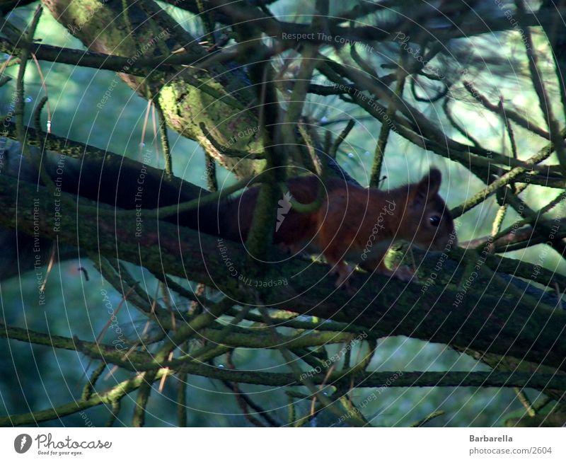 Hungriger Herbstbesucher Eichhörnchen klein Geschwindigkeit Nagetiere süß fleißig Wildtier Sammler Pet