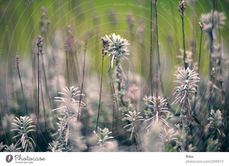 Zwischen innen und außen. Umwelt Natur Pflanze Herbst Blume Sträucher Blatt Blüte Grünpflanze Lavendel Garten Park Blühend Duft verblüht dehydrieren Wachstum