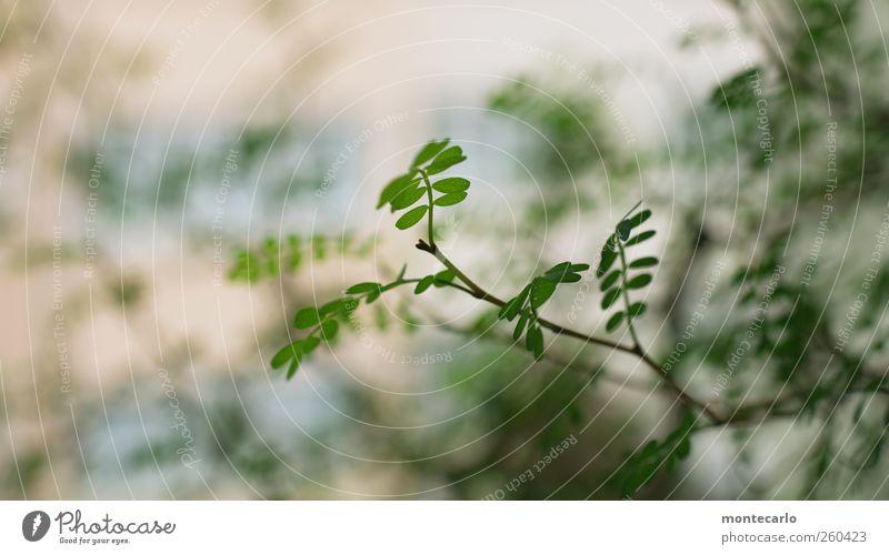 Sophy Umwelt Natur Pflanze Winter Schönes Wetter Schnee Sträucher Blatt Grünpflanze Wildpflanze Topfpflanze exotisch Sophora dünn einzigartig niedlich weich