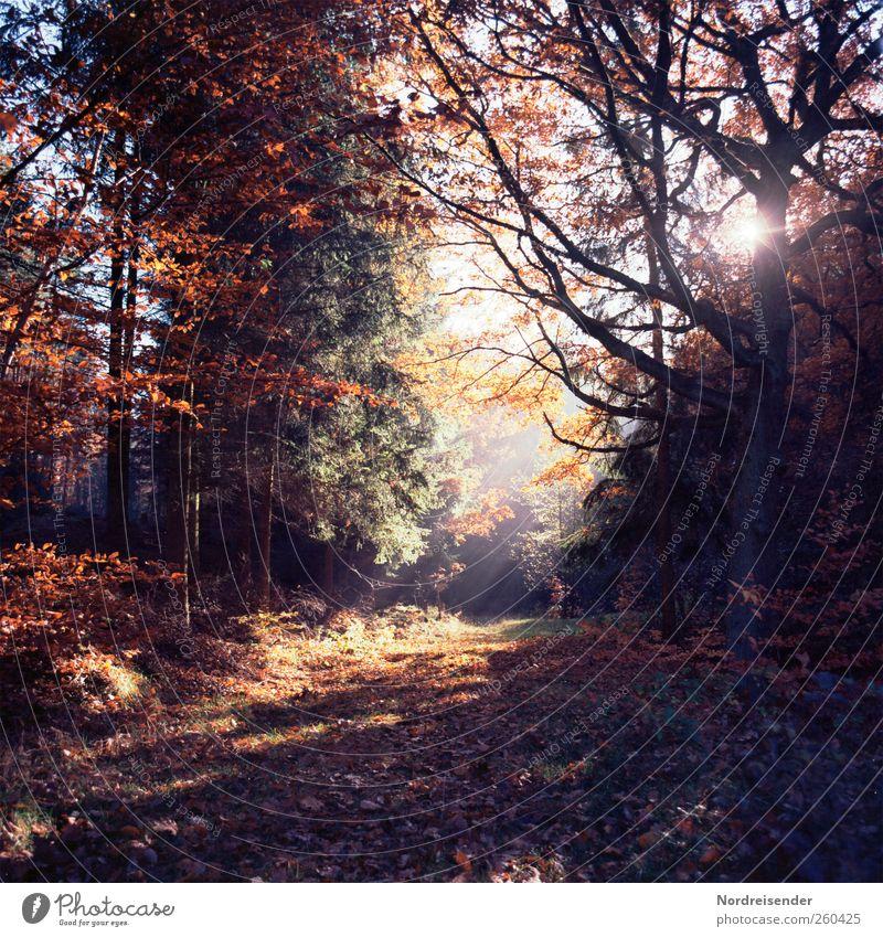Licht und Wärme Baum Pflanze Sonne ruhig Wald Erholung Herbst dunkel Landschaft Wege & Pfade träumen Stimmung Nebel glänzend wandern