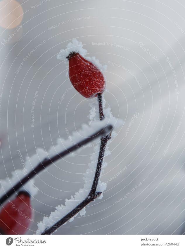 winterhart und beerenstark Natur schön rot Pflanze Winter Tier Umwelt Leben Schnee grau klein Eis ästhetisch Wandel & Veränderung Streifen Sträucher