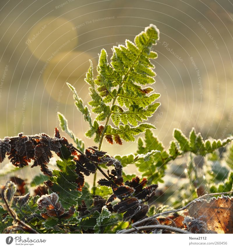 New life Umwelt Natur Pflanze Frühling Winter Klima Wetter Nebel Eis Frost Sträucher Farn Blatt Wildpflanze Wachstum wild grün zerbrechlich neu frisch Farbfoto