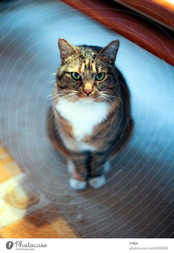 die erste große Liebe *400* Häusliches Leben Wohnzimmer Haustier Katze Tiergesicht 1 Denken hocken Blick sitzen warten schön niedlich weich Gefühle Stimmung