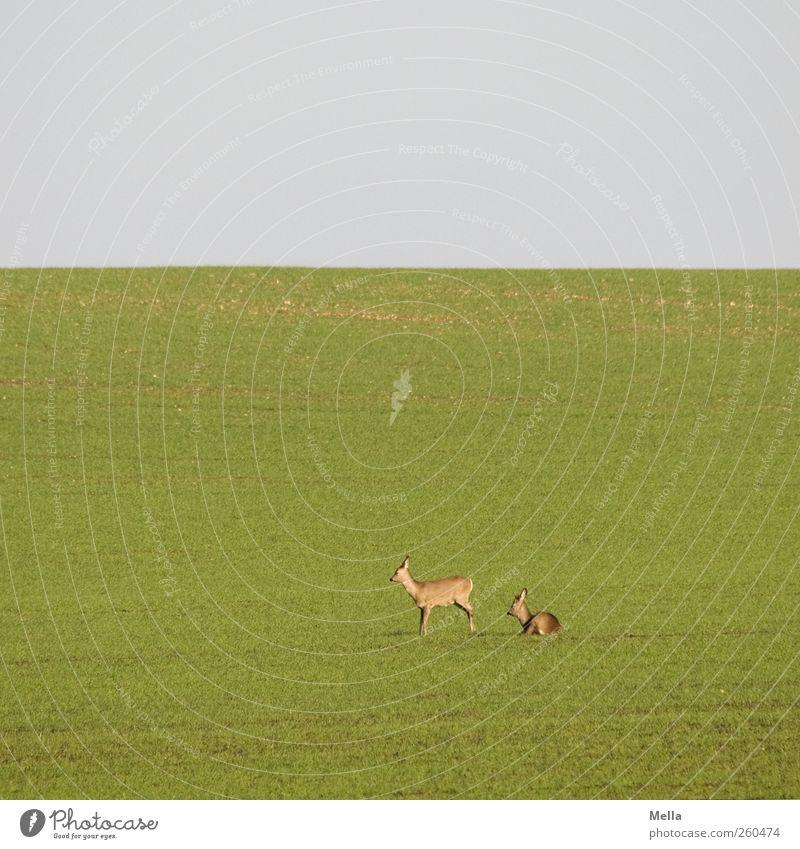 Guten Morgen Natur grün Tier ruhig Erholung Umwelt Wiese Landschaft Freiheit Gras klein Feld natürlich Tierpaar liegen Wildtier