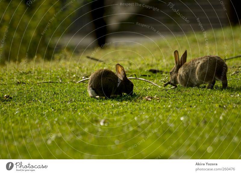 Gemeinsame Rasenpflege Natur Frühling Sommer Gras Wiese Tier Haustier Wildtier Hase & Kaninchen 2 berühren Fressen sitzen natürlich braun grau grün schwarz