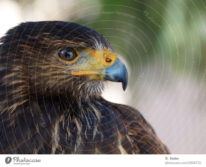Adlerblick Natur Tier Wildtier Vogel Tiergesicht 1 atmen beobachten hocken Blick sitzen ästhetisch bedrohlich Geschwindigkeit Spitze wild blau braun gelb