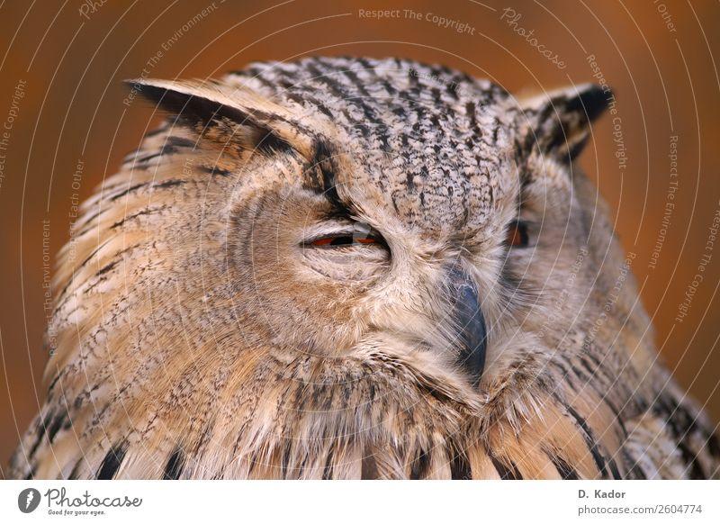 Wer stört? Tier Wildtier Vogel Tiergesicht Eulenvögel 1 Holz Unschärfe atmen Erholung ästhetisch elegant fantastisch rund klug weich braun schwarz Tierliebe