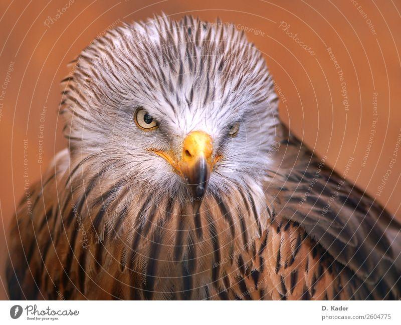 Geschickter Jäger Tier Wildtier Vogel Tiergesicht Flügel Roter Milan 1 Tiergruppe Unschärfe atmen fangen fliegen Fressen füttern Jagd kämpfen Blick sitzen